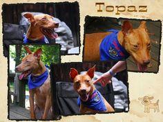 Topaz 1 1/2 year old