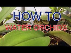 """How to water orchids"" 
