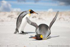 dead emperor penguin - Buscar con Google