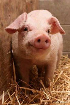 Oink so sweet