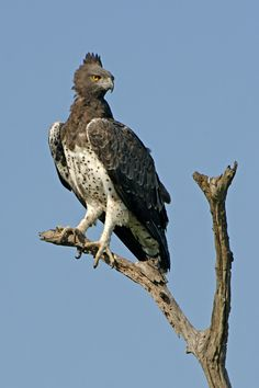 Types of Eagles in The World - Eagles are admired the world over as living symbols of power, freedom, and transcendence. There are more than 60 different species of Eagles. #TypesofEagles #MartialEagle