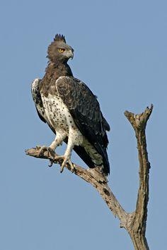 Martial eagle, Polemaetus bellicosus