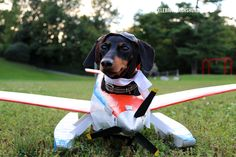 Dachshund Airplane Costume & Wiener Dog Race, I don't think Shotzy would wear this but we are gonna try the races in Placerville. Cute Puppies, Cute Dogs, Best Dog Costumes, Crusoe The Celebrity Dachshund, Cutest Puppy Ever, Miniature Dachshunds, Dog Lady, Weenie Dogs, Daschund