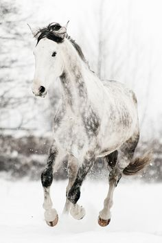 Horse, hest, Winter, snow, animal, white, grey, beautiful, beauty, gorgeous, photograph, photo
