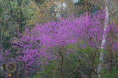 redbud tree   Hike Our Planet - @HikeOurPlanet