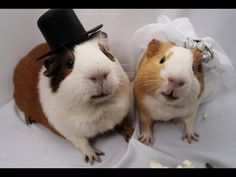 Guinea pig wedding.