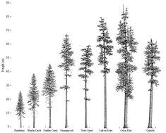 douglas fir drawing - Google Search
