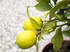 Lemon Storage: Tips For Preserving Lemon In A Long Time - Refine Lifetime Home Vegetable Garden, Home And Garden, Lemon Storage, Preserved Lemons, Tree Care, Milkshakes, Milk Paint, Agriculture, Preserves