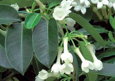 Jasmin de Madagascar (Stephanotis floribunda) - Jardinerie Truffaut - F. Marre comment cultiver.  - magnifique liane dont les fleurs sentent bon