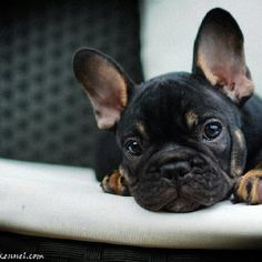 Studly Frenchie pooch!