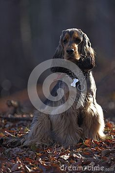 Dog in Forest stock photo. Image of cocker, against, sable - 34637264 English Cocker Spaniel, Vector Illustrations, Mammals, Stock Photos, Dogs, Free, Image, Pet Dogs, Doggies