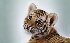 Cute Tiger Cub