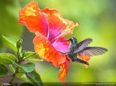 Resultado de imagem para hummingbirds and roses