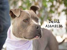 DEVIL (terrible name!) - URGENT - CITY OF LOS ANGELES SOUTH LA ANIMAL SHELTER in…
