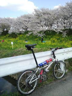 Copyright © Show Rin 様 / 2004年式 ヘリオス / 二世代目ヘリオス(2004年式)、10年目の春、今年も吉見の桜堤は賑やかです。宴会は。菜の花の中で時が過ぎる。この週末もヘリオスと過ごす。タフなバイクです。北風に乗れば平均38km/h(20kmの距離過去最高)で走れる。フレームはアルミ。私の膝はガラス、お互いに割れないように長く付き合おう。来年もこいつと一緒に吉見の桜を見に来よう。