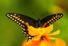 black swallowtail. Photo by leddyed wunderground.com
