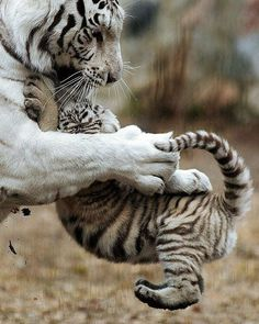 """2,798 Likes, 17 Comments - Animal On Earth (@animalonearth) on Instagram: """"Give Me Big Hug... By:©Alexander Lukin #animalonearth"""" #BigCatFamily"""