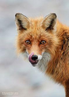 Wildlife Photographic Journals: Red fox
