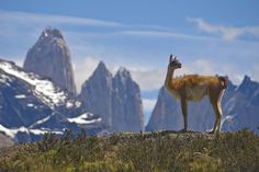 An amazing #lesson inspired by this photo of Guanaco (Lama Guanicoe) admiring the Andes in Torres del Paine National Park, Patagonia, Chile.