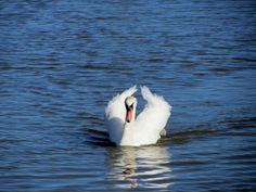 swan in Pevensey, England