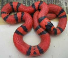 Het for Hypo Honduran Milk Snake Snakes For Sale, Milk Snake, Baby Snakes, Colorful Snakes, Coral Snake, Cute Snake, Snake Venom, Beautiful Snakes, Reptiles And Amphibians