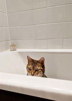 Animals Beautiful, Cute Animals, Asian Leopard Cat, Cat Fountain, Cat Behavior, Cats And Kittens, Teaching, Dog Bathing, Bengal Cats