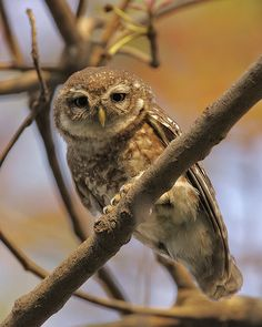 Spotted owlet (Athene brama) by Lip Kee