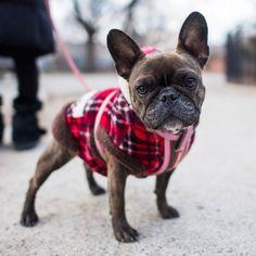"Chico, French Bulldog (3 y/o), Tompkins Square Park, New York, NY • ""She screams like a dinosaur when she sees skateboarders."""