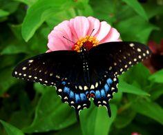 Black Swallowtail Butterfly Barnegat Bay, Butterfly Dragon, Butterflies Flying, Ladybugs, Dragonflies, Caterpillar, Heavenly, Moth, Bodies
