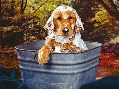 Oh no, not a bath. Golden retriever bath and bubbles Baby Dogs, Pet Dogs, Dogs And Puppies, Dog Cat, Doggies, Mundo Animal, My Animal, I Love Dogs, Puppy Love