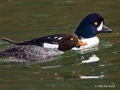Image result for goldeneye duck