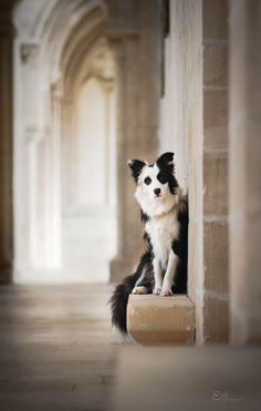 Amazing shot of Wapi @yummypets #border #collie