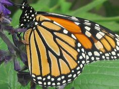 The Obama administration and conservation groups launched an ambitious national effort on Monday to halt the decline of the monarch butterfly. The initiative, Save the Monarch Butterfly, is a large-scale public-private partnership.