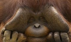 It is estimated that only 45,000-69,000 Bornean Orangutans remain. Learn how to help save the species here!