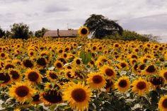 In a field of sunflowers.