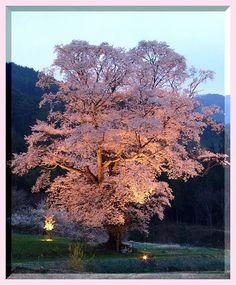 Sakura One Chidoribetsyak Plants, Planters, Plant, Planting