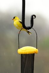 Goldfinch in the Rain stock photo