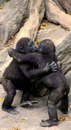"Gorilla baby hug party • The photographer writes, ""2 baby Gorillas at the Bronx Zoo hug it out after a game of tag around the fallen tree stump."" • photo: Evan Animals on Flickr"