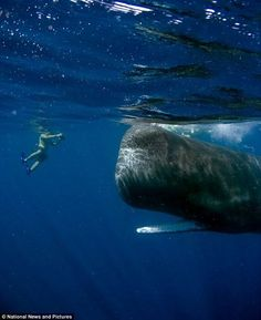 """Dylan Madisetti and Scar - the friendly (?) sperm whale living in the waters off the coast of the Commonwealth of Dominica. The photo was taken by Dylan's father Arun, a marine biologist."""