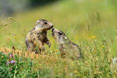 La marmotte dans le Mercantour