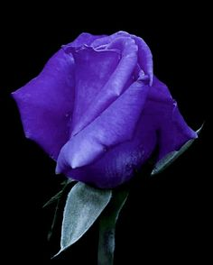 Purple Roses, Most Beautiful, Floral Arrangements, Roses, Flowers, Beautiful Flowers, Purple Rose