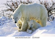 Polar Bears Stock Photos, Images, & Pictures | Shutterstock