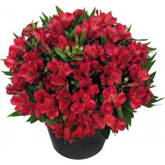 Rare 16 Different Colors Of The Peruvian Lily Bonsai Home Garden Flowers Bonsai Potted Alstroemeria 100 Pcs/Bag Patio Plants, Indoor Plants, Types Of Flowers, Red Flowers, Flower Seeds, Flower Pots, Peruvian Lilies, Simple Packaging, Bonsai
