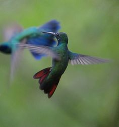 Anthracothorax nigricollis / Colibrí pechinegro / Black-throated Mango (male) | Flickr - Photo Sharing!