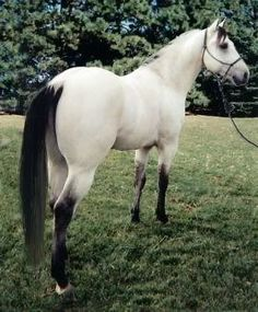 buttermilk buckskin
