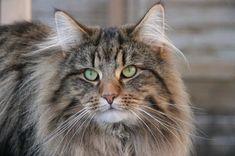 Norwegische Waldkatze                                                                                                                                                                                 Mehr