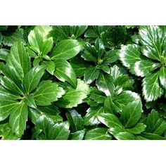 Pachysandra - ground cover - nice to grow under trees when the shade makes the grass die.