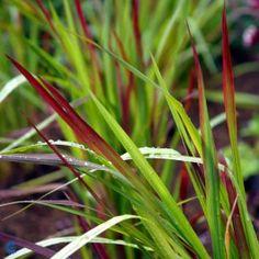 Blodgræs (Imperata cylindrica 'Red Baron') - P 10,5 · Øvr