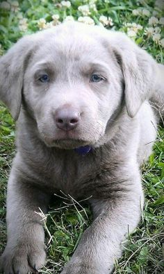 Silver lab puppy- Louisiana Silver Labradors look us up on Facebook!