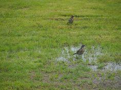 räkättirastas linnut on luonnossa pesevät itseä